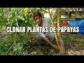 Como conseguir clones de tus plantas de papaya