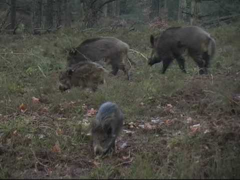 Big Wild Boar, Veluwe - YouTube Giant Wild Boar Photos