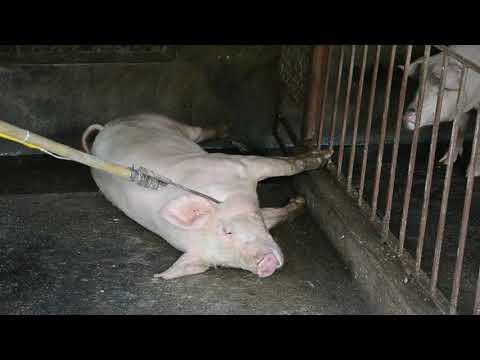Hà Nội Mỗi Ngày Tiêu Hủy 10.000 Con Lợn Tả C.Phi  P2 (kill African Swine Fever Virus In Ha Noi P2)