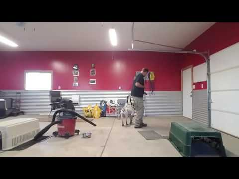 German Short Hair Pointer  with great drive!