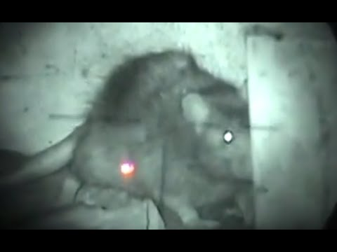 BERBURU TIKUS - NIGHT RATTING 16 - Night vision