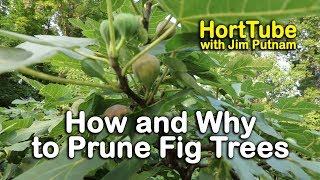 How and Why to Prune Fig Trees