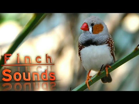 Finch sounds - YouTube