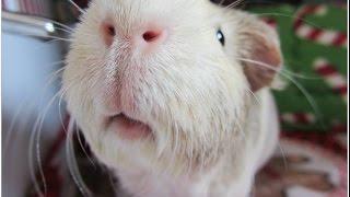 13 Guinea Pig Sounds (Visual/Audio Clips)