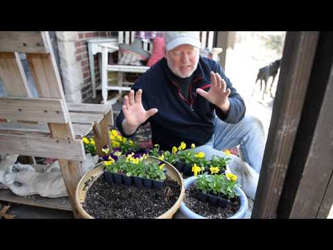 In the Garden: Planting peas, an early spring harvest and pansies in containers