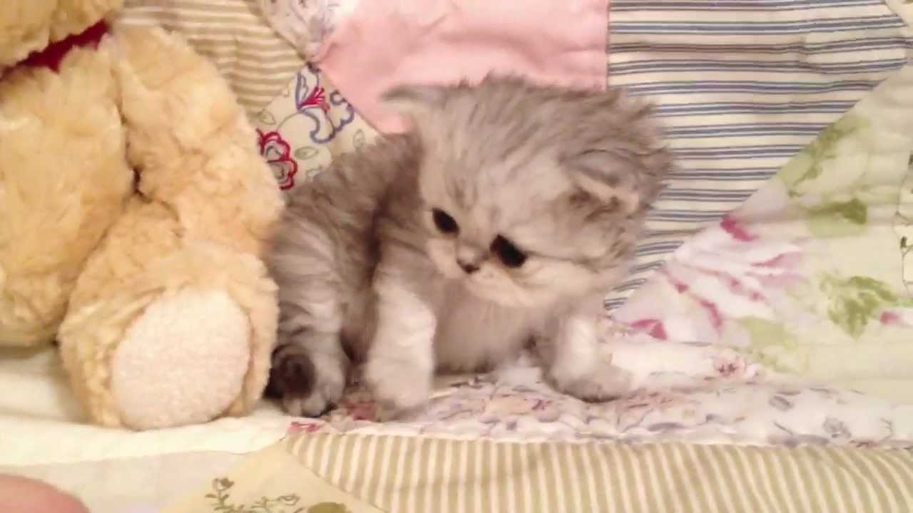 Mario Teacup Shaded Silver Persian Kitten for Sale from Daphne s