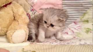 Mario - Teacup Shaded Silver Persian Kitten for Sale from Daphne's Dolls Cattery