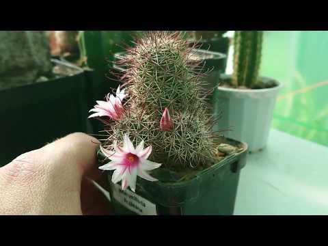 Cactus Minute Episode 39