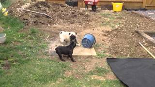 Pug And French Bulldog Puppy Playing