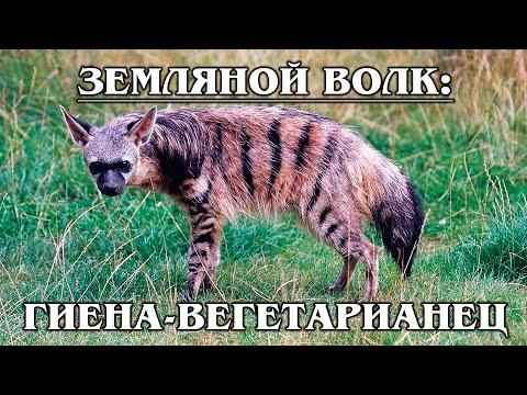 ЗЕМЛЯНОЙ ВОЛК: Добрая и маленькая гиена