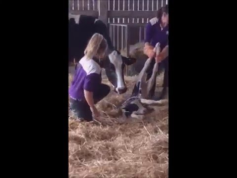Thumbnail: Calf being born at Marsh Farm Animal Adventure Park