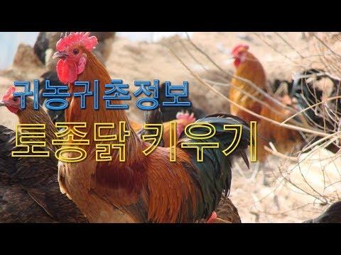 귀농귀촌정보- 친환경농장 토종닭 키우기