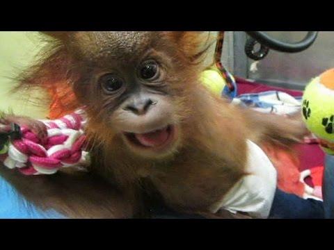 Baby orangutan arrives in UK rescue centre - no comment