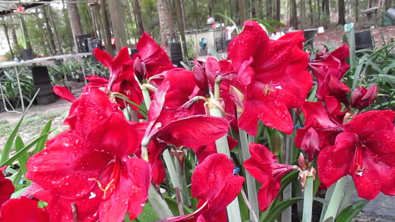 Amaryllis hippeastrum royal velvet vs red lion youtube for Amaryllis royal red arrosage