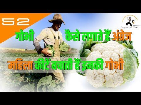 गोभी कैसे लगाते हैं अंग्रेज | gobhi ki modern  kheti | papa on duty | arun kumar