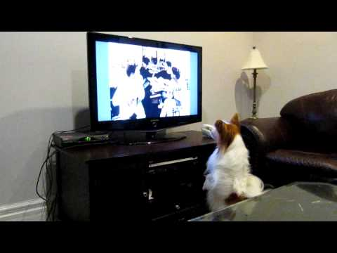 Papillon Coco watching TV show