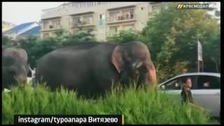 В Анапе засняли на видео слонов, гуляющих по улицам