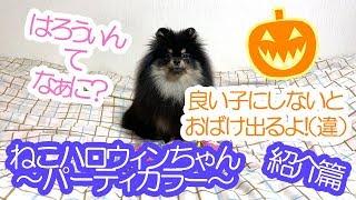 ねこハロウィンパーティーカラーが派手すぎ!?紹介するポメラニアン犬【はなポメ#514】 thumbnail