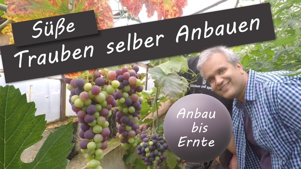 Weinstock Weinrebe Im Garten Pflanzen Tipps Und Tricks