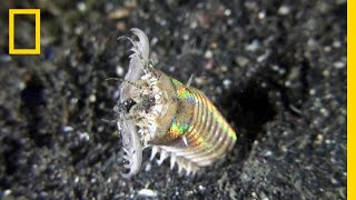 This Creepy Worm Pulls Its Prey Deep Under the Ocean Floor | National Geographic