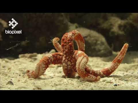 Oceanpedia   Critter finder   Echinoderm   Sea star