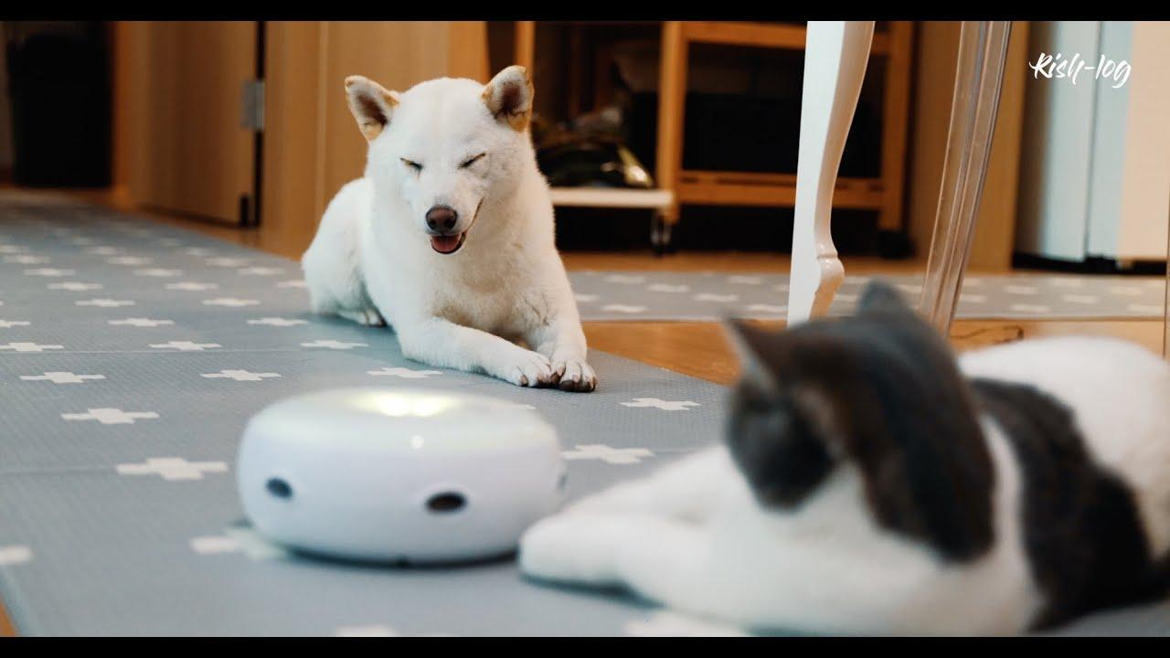 큰 시바견들이 자기 장난감을 탐낼때 고양이의 선택은 (petlog 28) - ft. 호수 '위'에서 자전거 타기, 불고기와 평양냉면