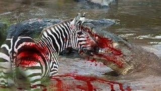最も驚くべき野生動物の攻撃 バッファロー対クロコダイル 象対ライオン...