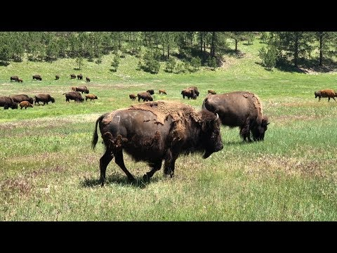 Black Hills South Dakota - Mt. Rushmore & Buffalo