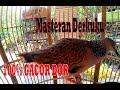 Suara Merdu Burung Tekukur Derkuku Gacor Saling Balas Ocehan Dengan Perkutut  Mp3 - Mp4 Download