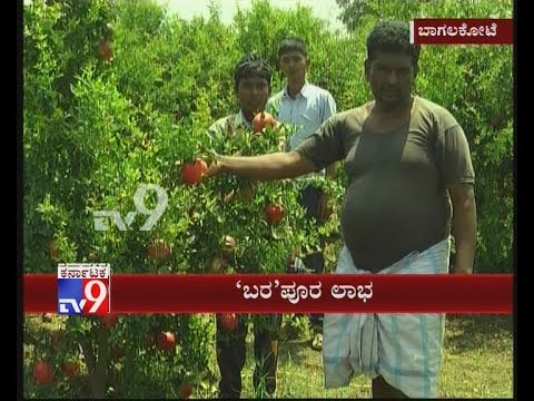 Bagalkot: Drought Affected Farmer Finds Success in Pomegranate Cultivation