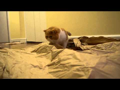 Extremely cute exotic shorthair cat loves his paper ball (Garfield cat/flat face cat)