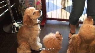 アメリカンコッカーが集まってウマウマ祭り☆そして、得意技を披露.