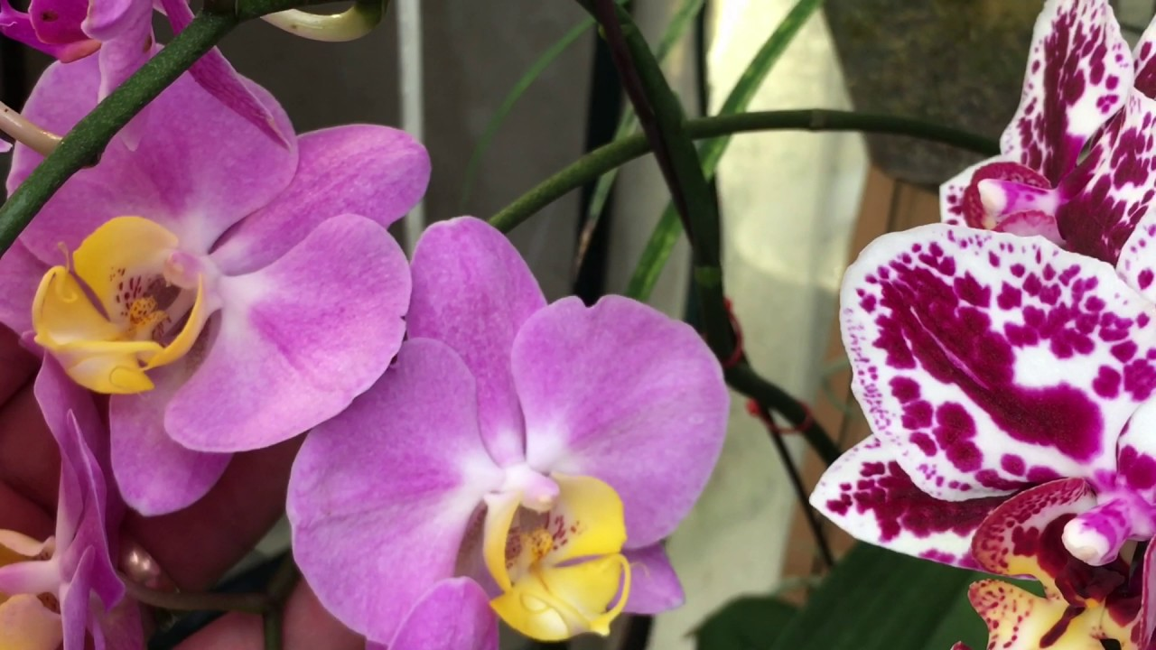 Phalaenopsis Orchid Tour And Greenhouse Care Tips 1080p