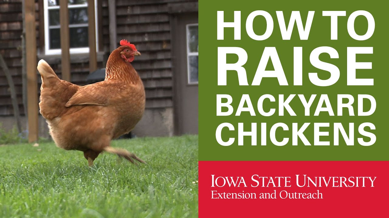 Backyard Chickens: Why Raise Backyard Chickens?