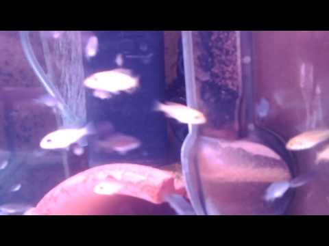 breeding african cichlids a 9 step guide
