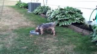Yorkshire Terrier. Named Sammy