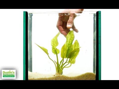 CLASSIC, EASY Aquarium Plants, MEGA SPECIES SUNDAY- 5 Amazon Swords!