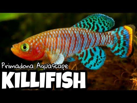 KILLIFISH -  Ikan Primadona Aquascape