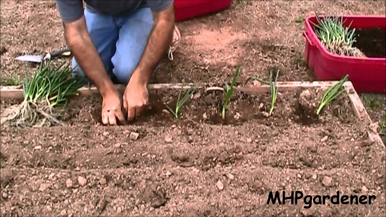 Planting Onions & Cold Frame Seedling Update - YouTube