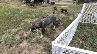 Standard Schnauzer Puppies at play
