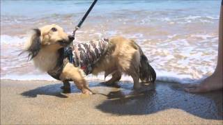 PRA - genetic disorder of dogs (Miniature  dachshund)