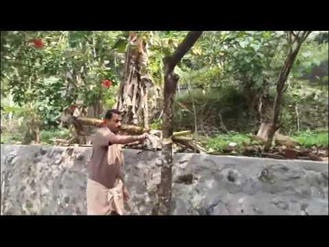 റംബുട്ടാൻ മരം ഗ്രാഫ്റ്റ് ചെയ്യുന്ന രീതി  - Grafting a Rambutan Tree in kerala