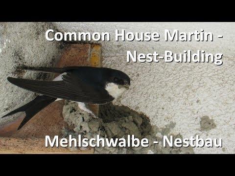 Mehlschwalbe beim Nestbau - Common House Martin builds nest (Delichon urbicum)