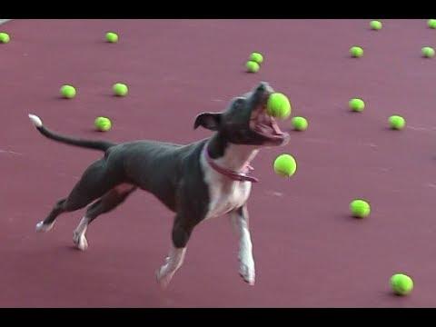 Dog Heaven! Cute Pit Bull Plays w/ Tennis Ball Machine!