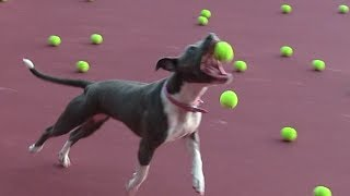 Dog Heaven! Cute Pit Bull Plays w/ Tennis Ball Machine!