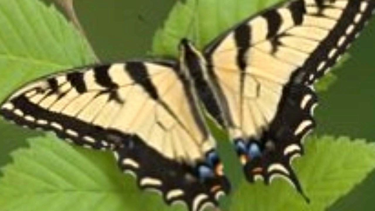 mesmerizing facts about the very pretty tiger swallowtail butterfly