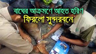 বাঘের আক্রমণে আহত হরিণ ফিরলো সুন্দরবনে   bdnews24.com