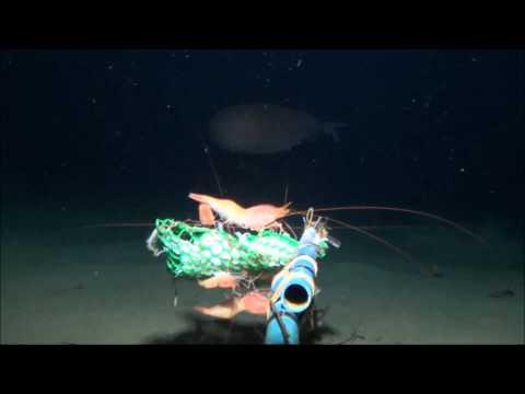 RARE Deep Sea Octopus! Haliphron atlanticus??? Philippines