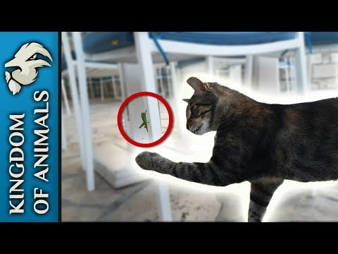Egyptian Mau cat eating cricket