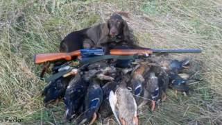Охота на утку с курцхааром осенью. Подача утки. Охота с легавой собакой, с курцхааром, видео.